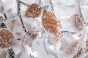 ブナの枯れ葉